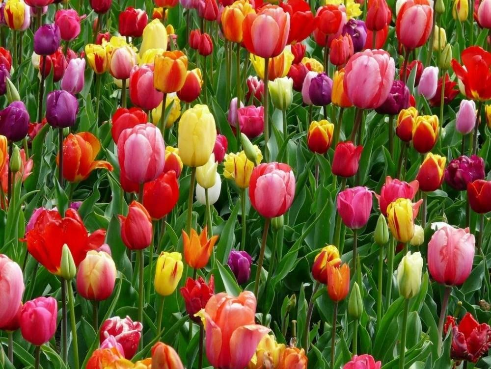 Campi di tulipani in Italia  CASAfacile