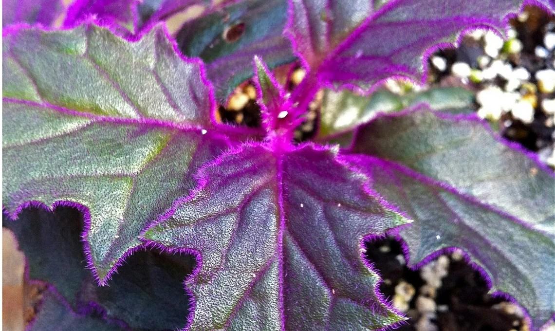 Piante dalle foglie viola 9 tipi  CASAfacile