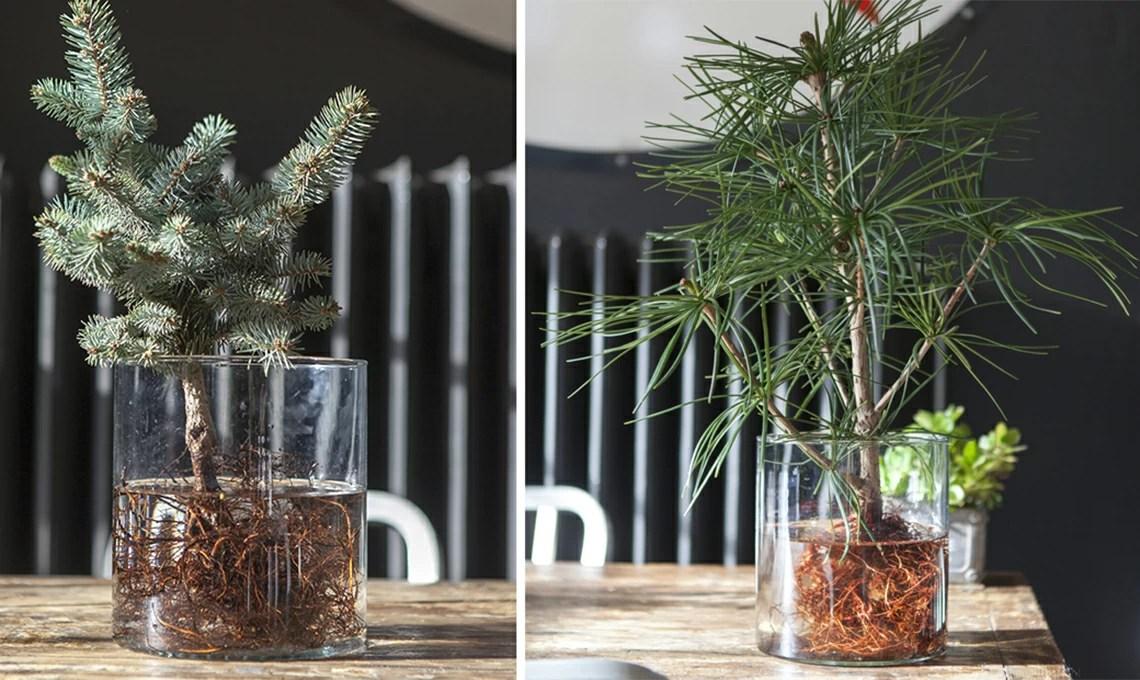 Idrocoltura come coltivare le conifere in acqua  CASAfacile