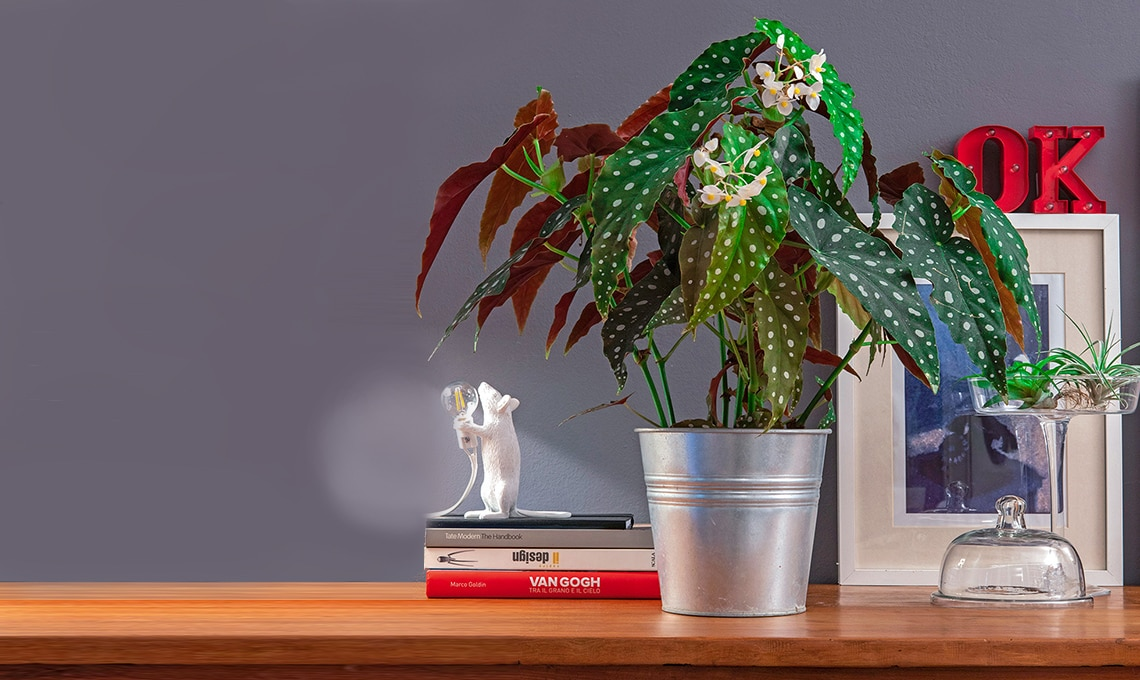 Begonia maculata come curarla e coltivarla  CASAfacile