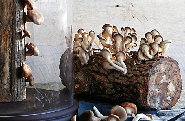 Coltivare i funghi Shiitake in casa