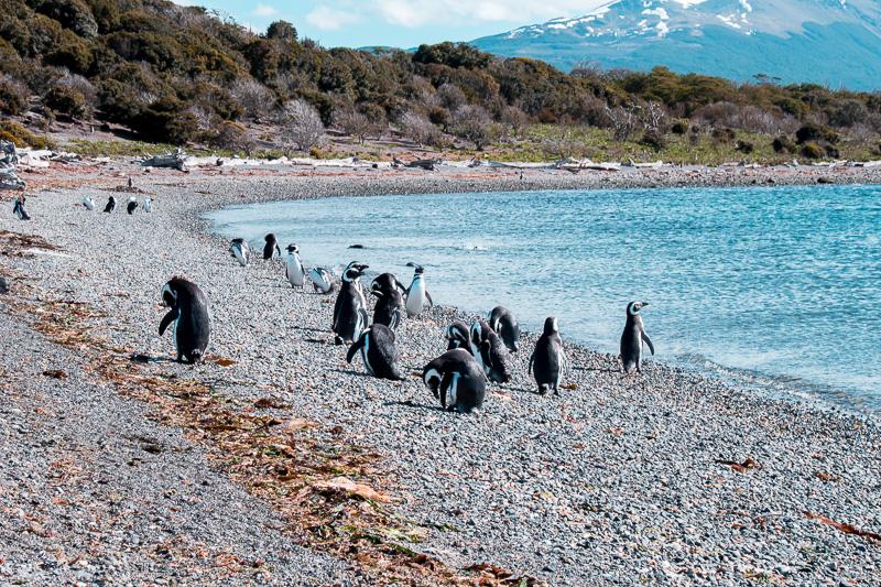 Pinguinera Terrestre