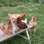 casa rural granja gallinas