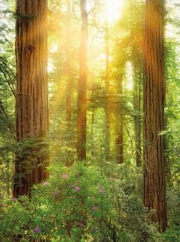 xxl2-044 Redwood