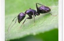 Lotta alle formiche senza veleni