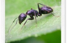 Lotta naturale alle formiche con la verbena