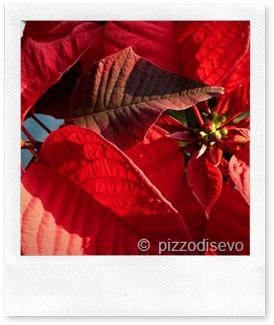 Stella Di Natale Moscia.Piccoli Segreti Per Salvare La Stella Di Natale Casa