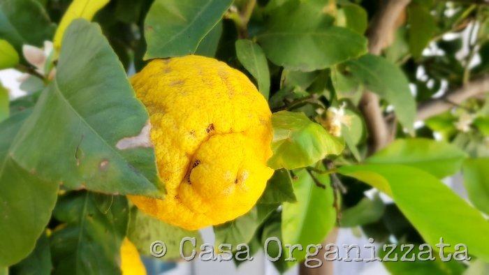Coltivare un limone sul terrazzo trucchi e consigli u casa