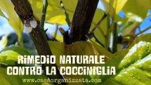 Trattamento naturale contro la cocciniglia