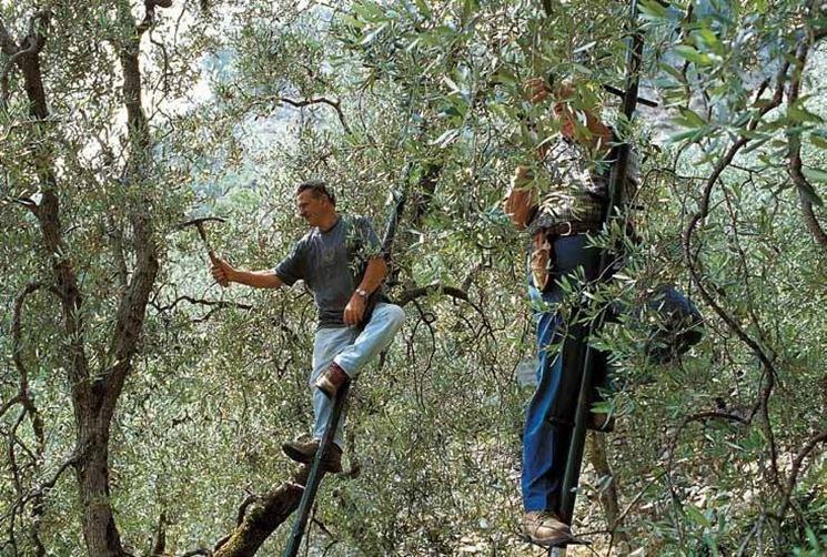 Coltivazione olivo  Fare Giardinaggio  Coltivazione dell