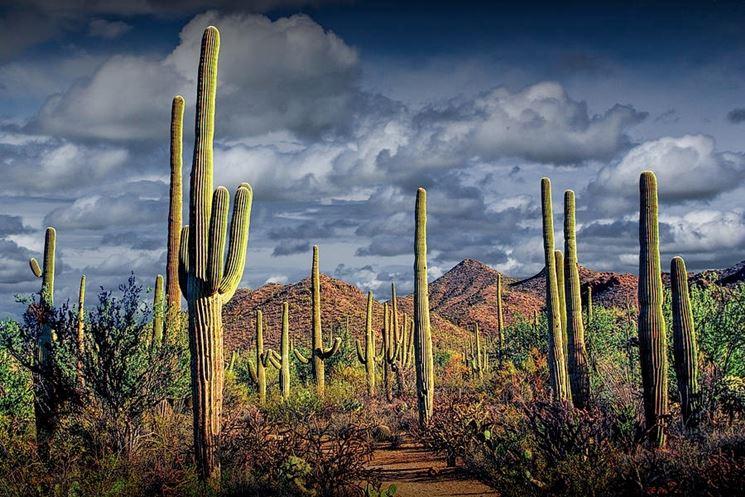 Cactus  Piante Grasse da appartamento  Coltivazione e cura del cactus