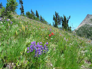Wildflowers at Easy Pass