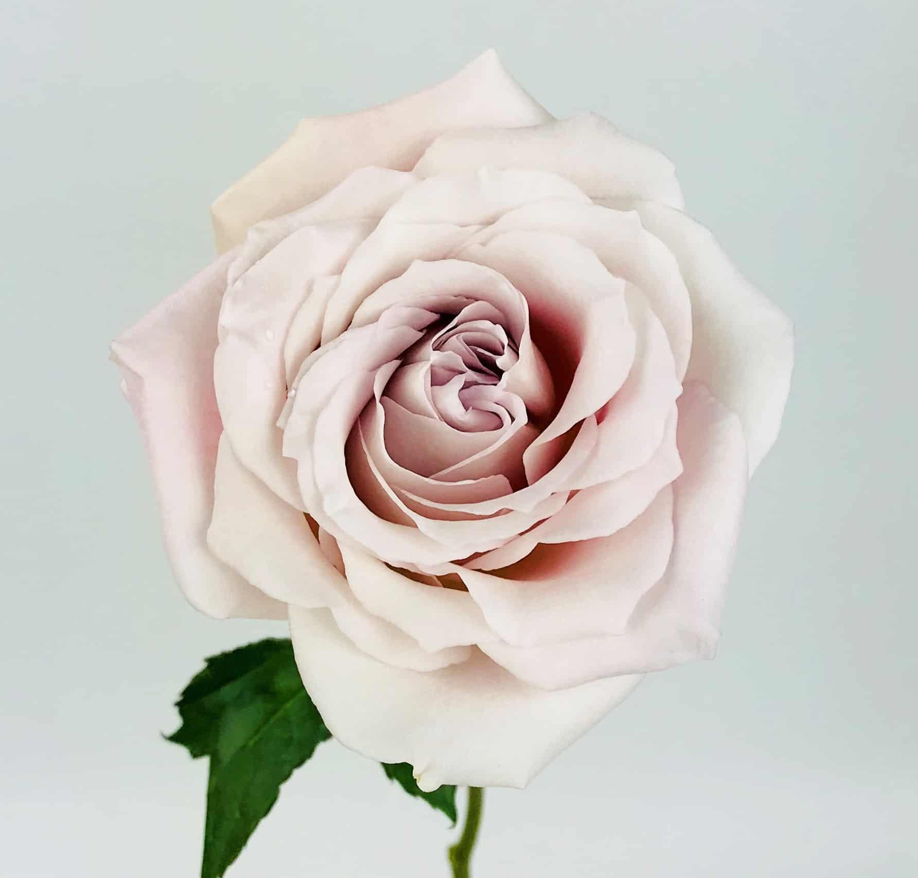 faith rose 50cm