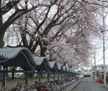 Tree blossoms over bike parking at Tokyo International University
