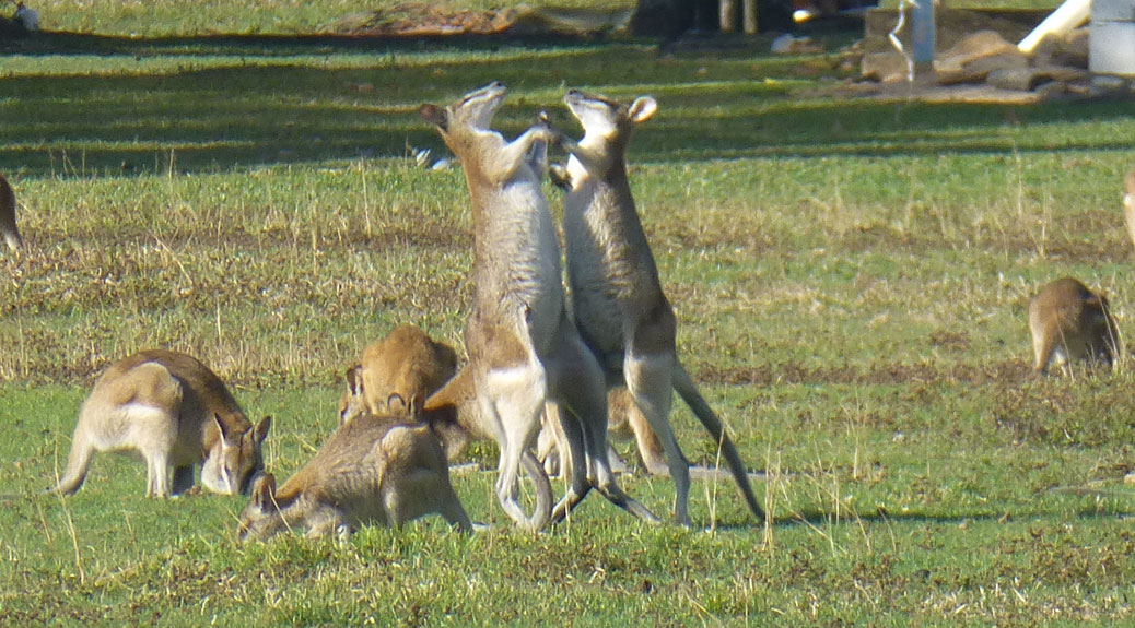 Wallaby Fight