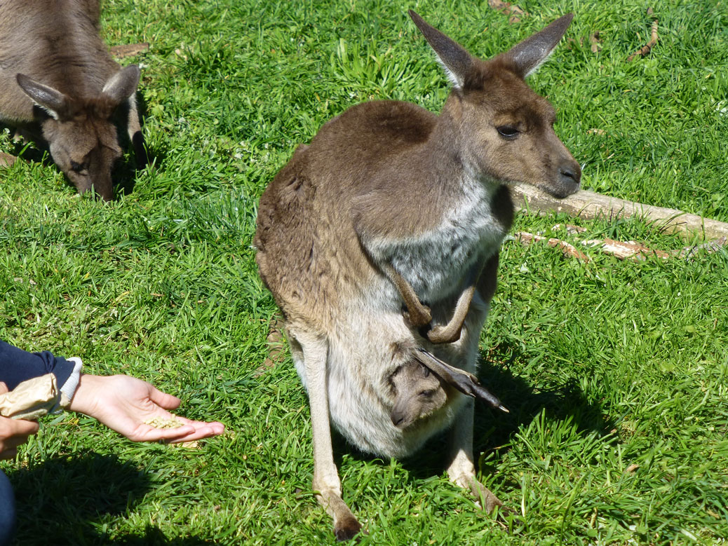 Kangaroo momma and baby