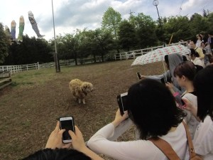 """""""Hitsuji"""" means """"sheep"""" in Japanese and """"yama"""" means mountain, so the aptly-named Sheep Mountain Park should have a few sheep wandering the grounds. The local paparazzi went crazy for this one."""