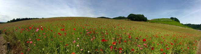The poppy fields of Sainokuni Friendship Farm. Click the photo for a larger image.