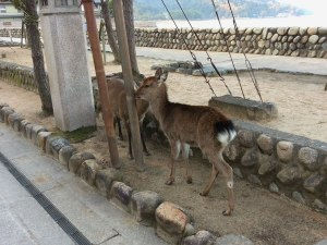 Wild deer make their home amongst the tourists on Miyajima