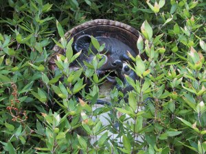 A tanuki statue hides in the bushes along the road.