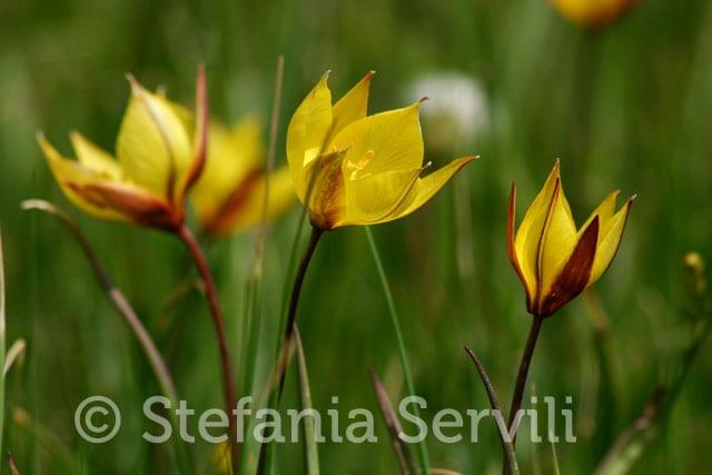 Tulipa australis plan