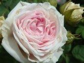 Felicite Parmentier | Rosa Alba