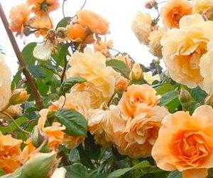 Rose Ibridi di Moscata