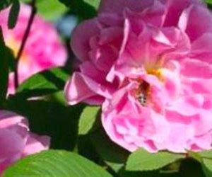 Rose Rugose