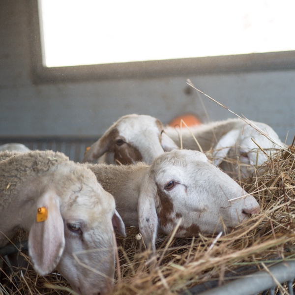 Casorelle Gregge di Pecore