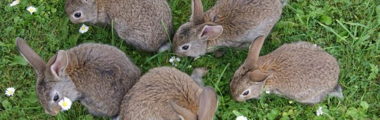 Five brown rabbits grazing on grass