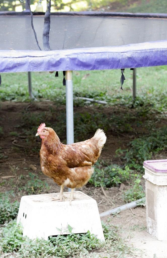 Chicken near trampoline