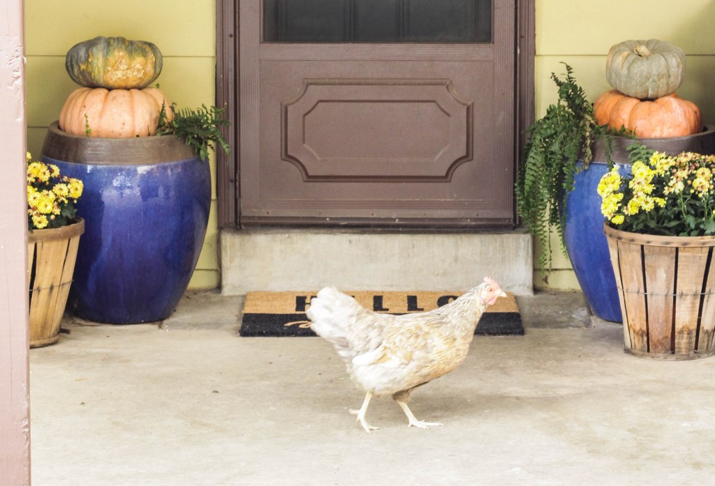 Mowgli the chicken on the Halloween porch