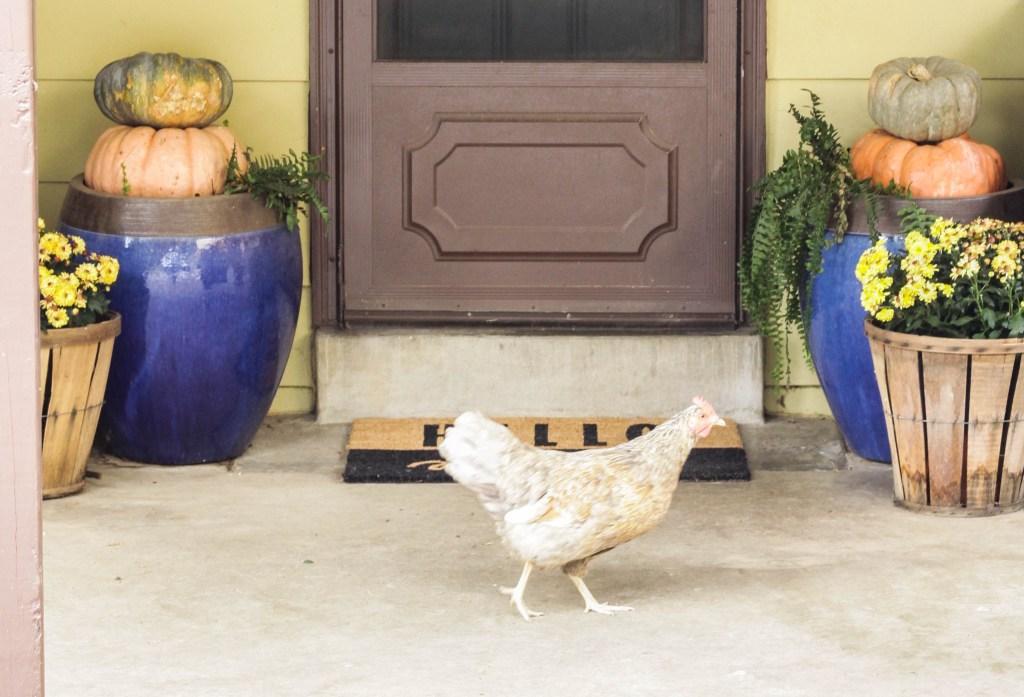 Mowgli the chicken on the Halloween porch