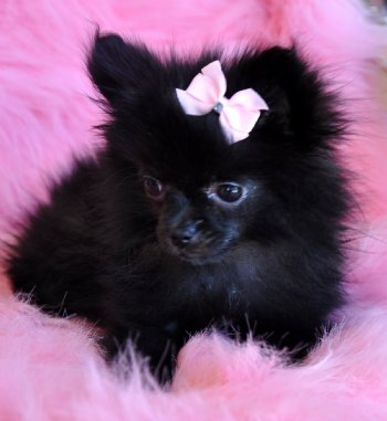 Tiny Pomeranian Puppy Adorable Black Princes Sold Moving