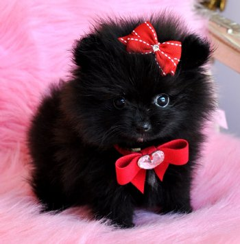 Tiny Teacup Black Pomeranian Princess WOW She is Amazing
