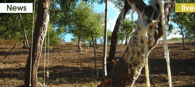Rivalorizzazione della Manna: l'Amministrazione invita i proprietari di frassineti a concedere i propri terreni in comodato d'uso