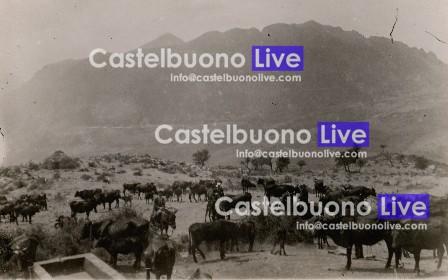 In questa foto del 1922 scattata al Gorgo, si possono notare vacchi, vitìeddri, vitiddrazzi (vitelli da uno a due anni), inizzotti (vitelle da uno a due anni), inizzi (giovenche, vitelle di due anni che non hanno ancora figliato), mircalùori (vitelle di circa un anno di età), vacchi frischeri (che hanno figliato da poco), vacchi innusi (che hanno figliato nell'anno agrario precedente), russeri (vacche gravide), strippusi (vacche sterili), primaluri (primipare), strippi (vacche che attualmente non producono latte), innarini (vitelli nati a gennaio) e ntavirizzi (vacche in calore).