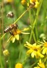 les abeilles récoltent du nectar tard en saison.