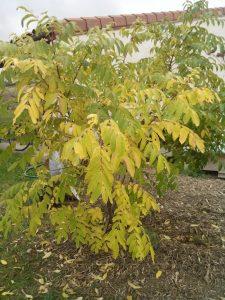 tetradium-jardin-automne