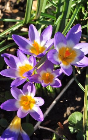 Crocus sieberi Il s'en distingue par sa gorge jaune particulièrement développée chez son cultivar 'Tricolor'.