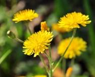 Chaque hampe florale, nettement pubescente porte plusieurs capitules