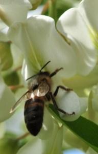 Les abeilles récoltent principalement du nectar