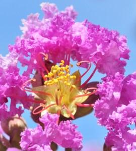 Le lilas des Indes_2-001