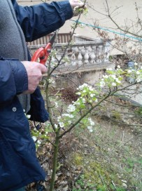 societe_horticulture_de_rive_de_gier_mise_en forme_poirier_1