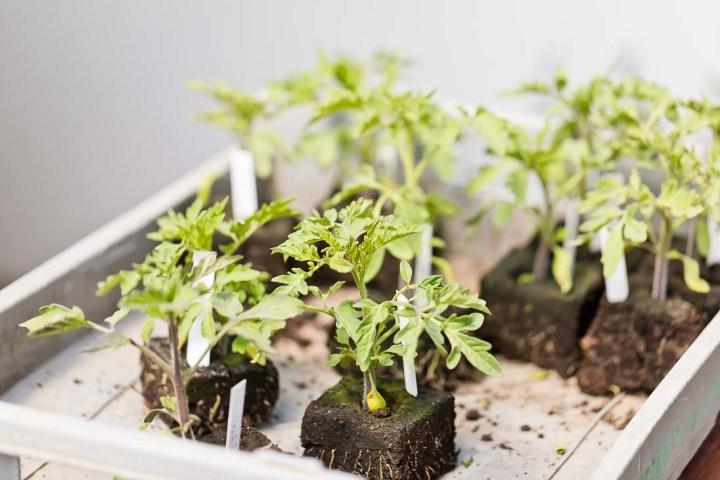 Tomatenpflanzen vom Biohof Hopf