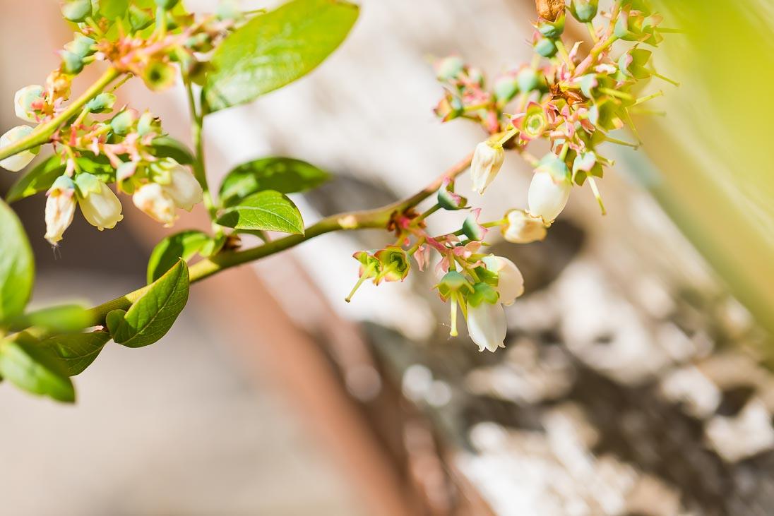 Heidelbeeren Blüten