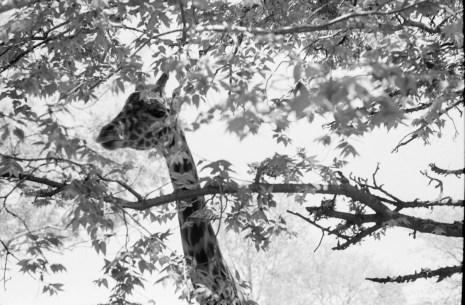 Fuji Acros Leica M2 DR Summicron-7