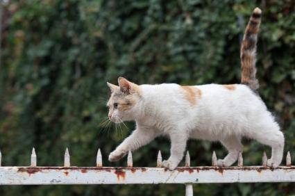 Hasil gambar untuk ekor kucing