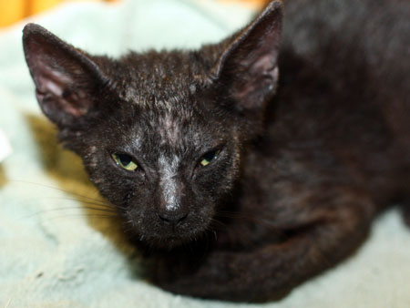 Scabs On Cats Causes Symptoms Amp Treatment Cat World