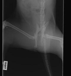 broken pelvis in cats symptoms diagnosis treatment cat world spine diagram broken pelvis in [ 1576 x 1976 Pixel ]